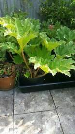 Ornamental rhubarb garden plant