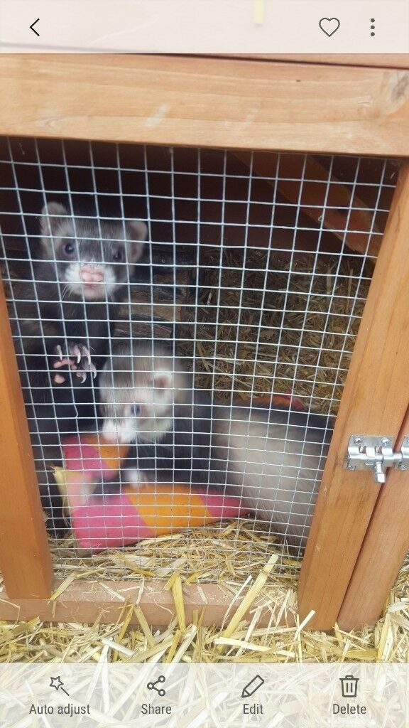 2 Baby ferrets for sale