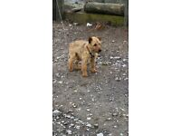 Lakeland terrier 2 years old fully house trained.