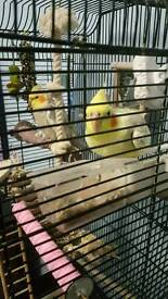 A male and female cockatiels for sale (£150 for both or nearest offer)