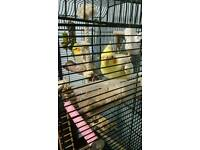 A male and female cockatiels for sale