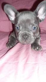 Kc french bulldog puppys