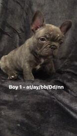 Chocolate brindle French bulldog boys (don choc sons)