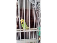 Budgie + Cage + Bird Seed