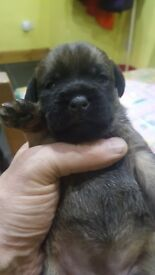 Quality border terrier pups
