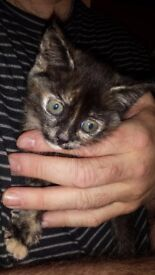 2 Kittens for sale will be 8 weeks on Saturday 4th Nov. Black, white and ginger. £30