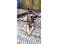 17month German Shepard bitch for sale