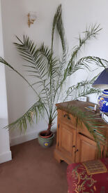 8 foot indoor fern plant, very healthy and needs little watering