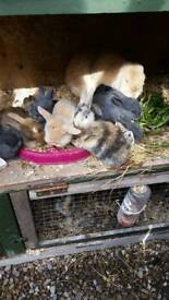 Baby lion lop rabbits mixed litter.bucks.does.malee females