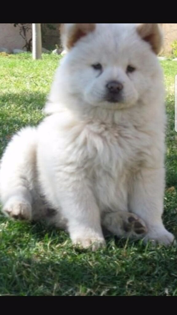 Chow Chow Pup White In Dumbarton West Dunbartonshire Gumtree