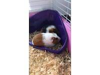 2 Female Baby Guinea Pigs 15 weeks old come with cage and accessories