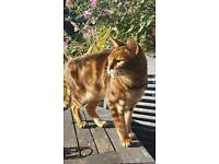 Purebreed marble bengal boy..gorgeous