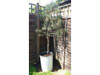 Mediterranean Pine Tree in metal pot as seen