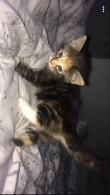 Ginger and black tubby kittens