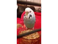Found budgie Litherland liverpool