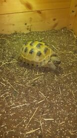 Horsefield Tortise For sale