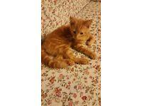 Beautiful ginger kitten