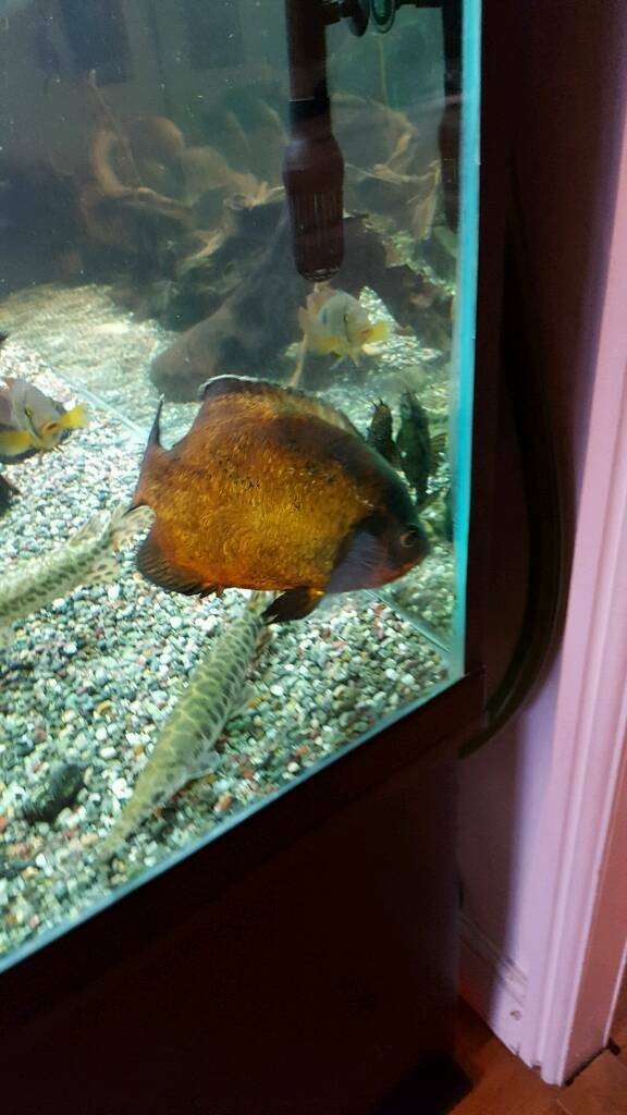 8inch orange oscar fish tropical