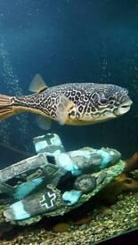 12 inch mbu puffer tropical fish