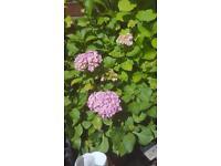 HYDRANGEA'S PLANTS FLOWERS