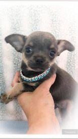 3 Beautiful Chihuahua Boys 1 Blue/tan 1 black tri 1 choc/tan