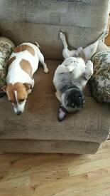 Jug puppies