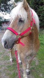 Pony for loan, stunning halflinger