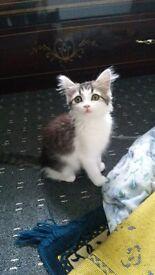 11 weeks old male kitten