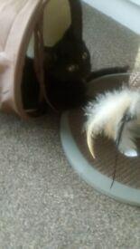 8 week old kitten needs rehoming asap