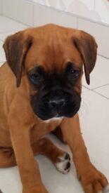 kc reg boxer pup