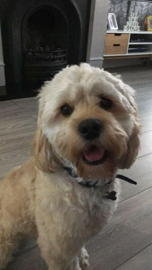 1 year old American cockapoo for sale | in Hull, East Yorkshire | Gumtree