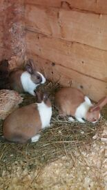 dutch rabbits for sale