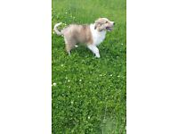 Beautiful Rough Collie Puppy Last of Litter