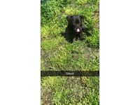 13 week old Staffy x pug