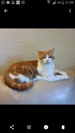 White and Ginger female Cat 5 years old