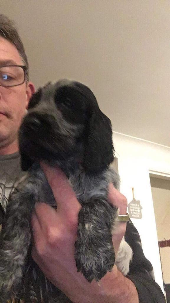 Kc registered show Blue roan cocker spaniel puppies for sale | in  Ballyclare, County Antrim | Gumtree