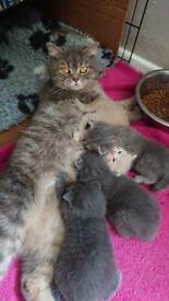 3 Beautiful Gccf Registered British Shorthair Babies