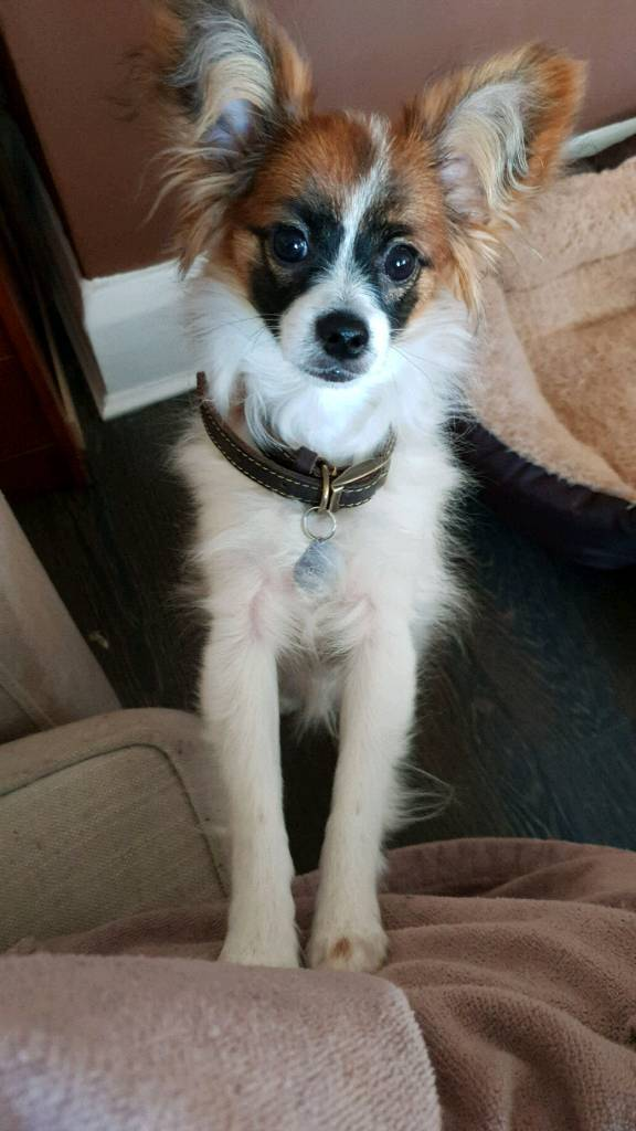 Beautiful Papillon Puppy For Sale In Liverpool Merseyside Gumtree