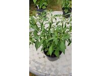HOT Indian, Sri Lankan and Jamaican chilli plants - in large pots with plenty of fruits already set