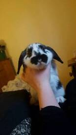 12 week old mini lop with 3 level cage