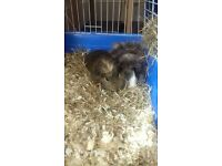 2 cute loving male guinea pigs free