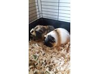 2 month old guinea pigs with 2 tire cage, big bag of food & bedding