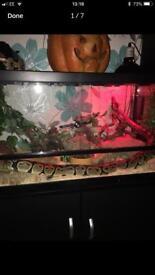 Royal python and viv for sale