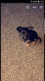 Puppie for sale