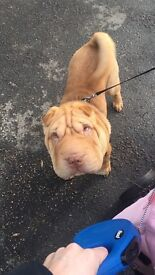 Shar pei 7 month old boy