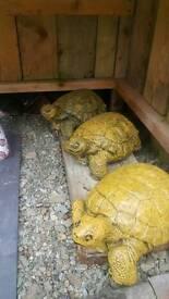 L tortoise