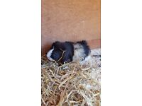 Three Adult Male Guinea Pigs for sale