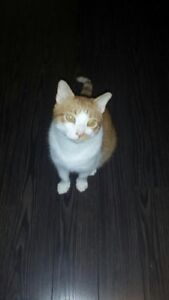 Lost cat- orange and white