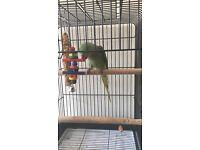 The Alexandrine parakeet talking parrot for sale