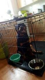 ROTTWEILER PUPPY 9 MONTHS OF AGE FOR SALE £550